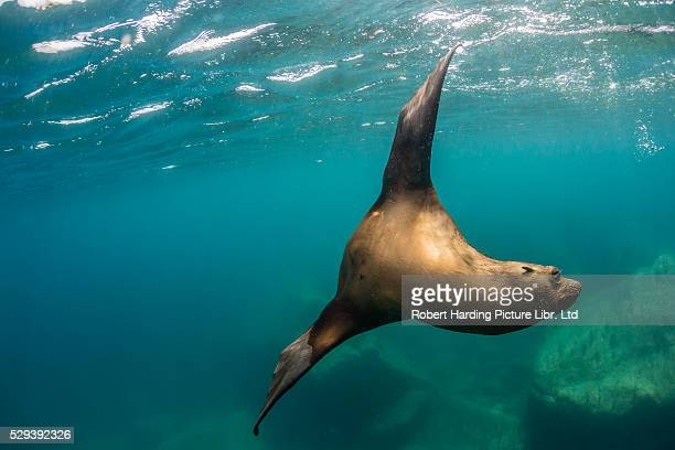 California sea lion, Zalophus californianus, underwater at Los Islotes, Baja California Sur, Mexico