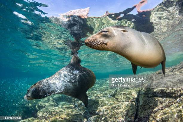california sea lions at los islotes - sea of cortez stock pictures, royalty-free photos & images