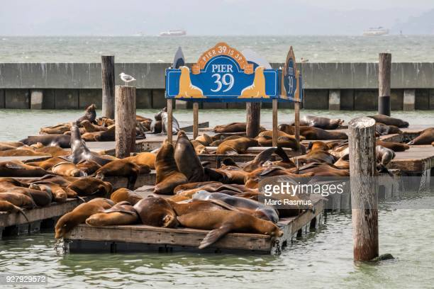 California sea lions (Zalophus californianus) on pontoon, dock at Pier 39, San Francisco, California, USA