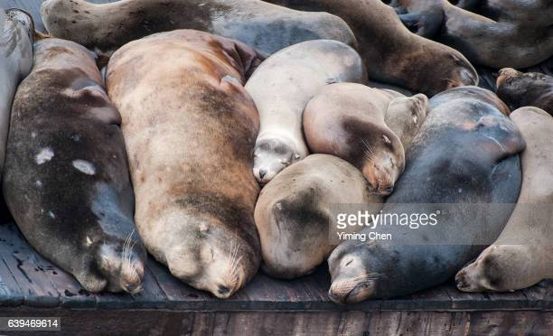 california sea lions on the pier 39 of san francisco - fishermans wharf stock pictures, royalty-free photos & images
