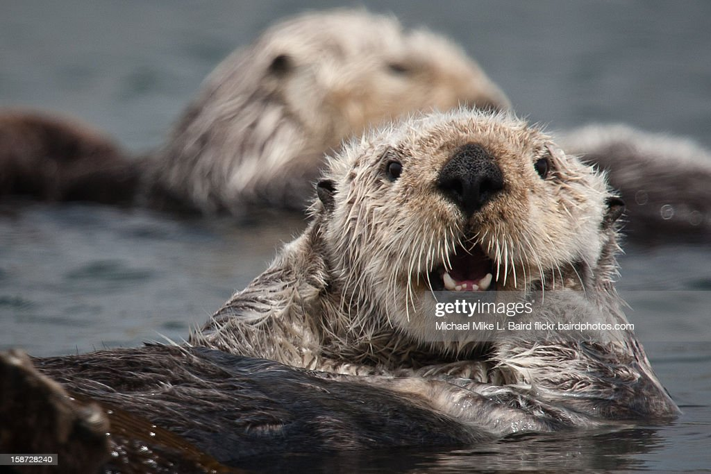 California Sea Otter (Enhydra lutris) : Stock Photo