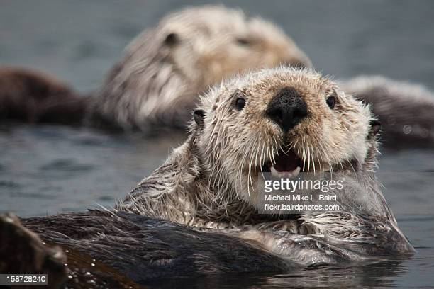 california sea otter (enhydra lutris) - sea otter stock photos and pictures