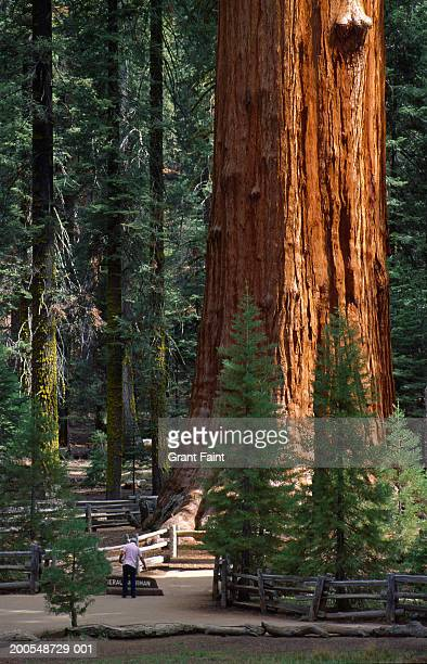 usa, california, sequoia national forest, man standing by redwood - sequoia national forest stock photos and pictures