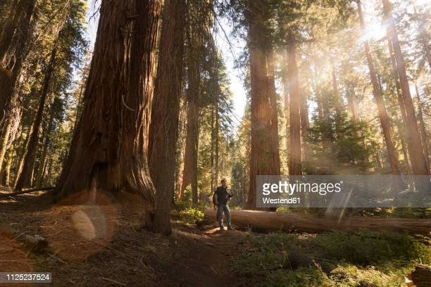 usa, california, sequoia national park, sequoia tree and man, sun light - sequoia tree stock pictures, royalty-free photos & images