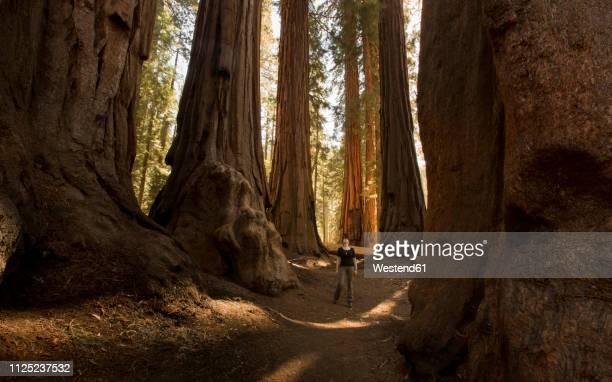 usa, california, sequoia national park, sequoia tree and woman, sun light - sprookjesboom stockfoto's en -beelden