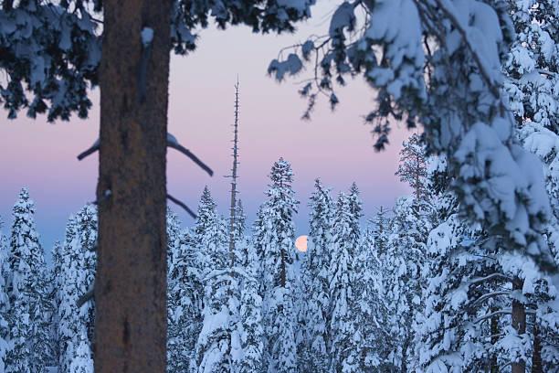USA, California, Soda Springs, moon setting behind snowy trees, dawn