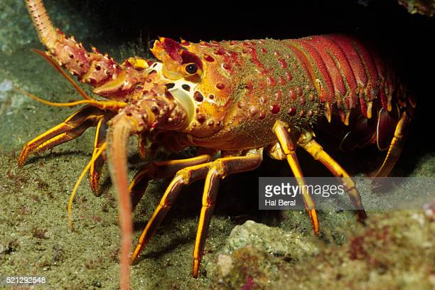 california spiny lobster - aragosta foto e immagini stock