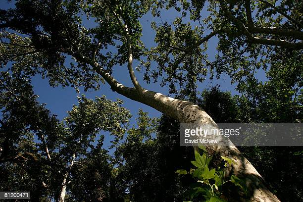 California sycamore trees grow in Santa Ynez Canyon in Topanga State Park on May 21 2008 in Los Angeles California California's entire state park...