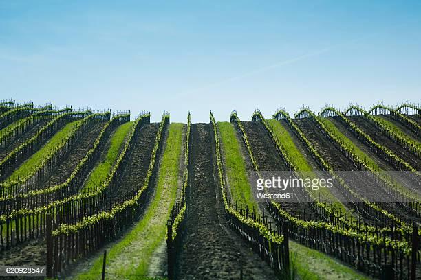 USA, California, view to vineyard