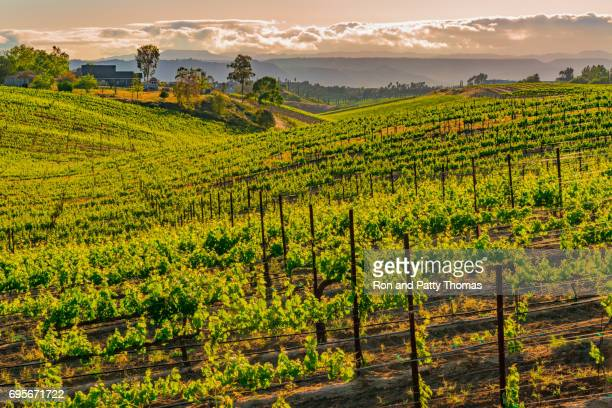 California Vineyard at Dusk with rows of vines (P)