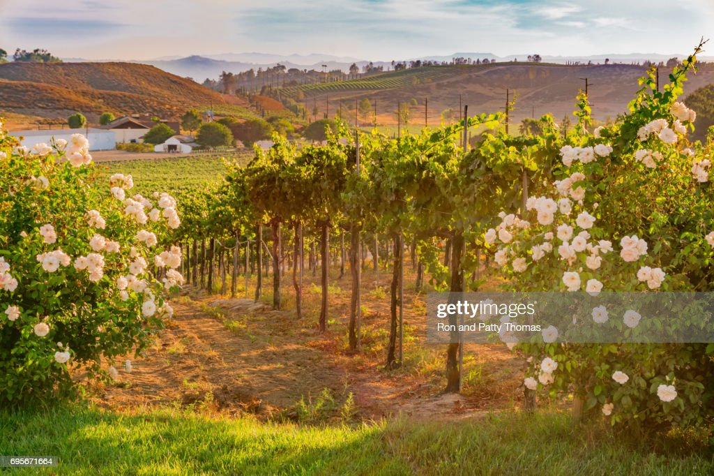 California Vineyard at Dusk with white roses (P) : Stock Photo
