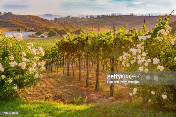 california vineyard at dusk with white roses (p) - california stock pictures, royalty-free photos & images
