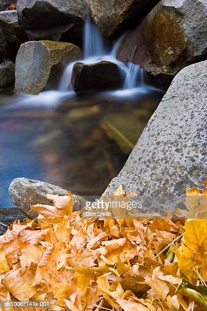 usa, california, yosemite national park, fall leaves near waterfall at bridalveil creek - don smith stock pictures, royalty-free photos & images