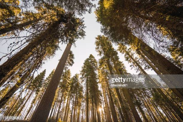 usa, california, yosemite national park, mariposa, sequoias - treetop stock pictures, royalty-free photos & images