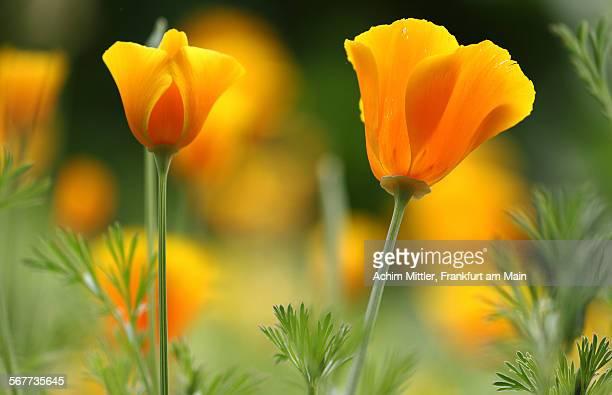 Californian poppies with yellow bokeh