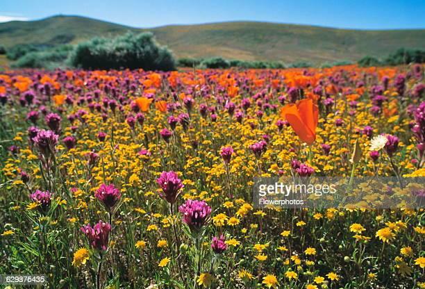 Californian poppy Eschscholzia californica