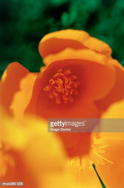 californian poppy - california golden poppy stock pictures, royalty-free photos & images
