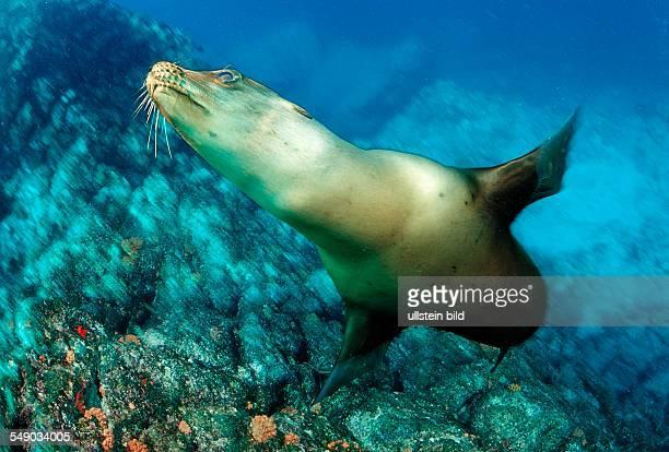 Californian Sea Lion Zalophus californianus Mexico Sea of Cortez Baja California La Paz