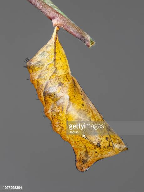 caligo memnon – giant owl butterfly chrysalis - cocoon stock pictures, royalty-free photos & images