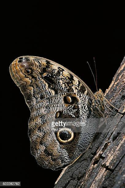 Caligo memnon (pale owl butterfly, giant owl butterfly)