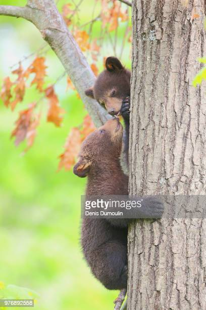 calinours. - bear cub stock pictures, royalty-free photos & images