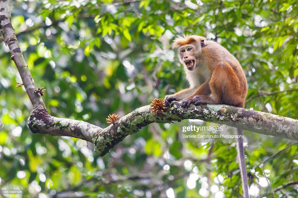 Call of the ape : Stock Photo