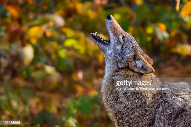 call of the wild - coyote stock pictures, royalty-free photos & images