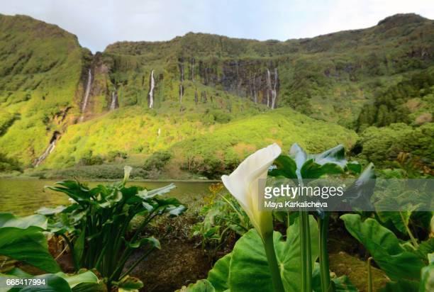 calla flower near poço da alagoinha - azores stock photos and pictures
