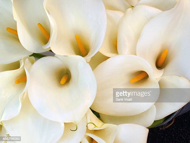 Calla Lilies on November 8 2014 in Santa Barbara California