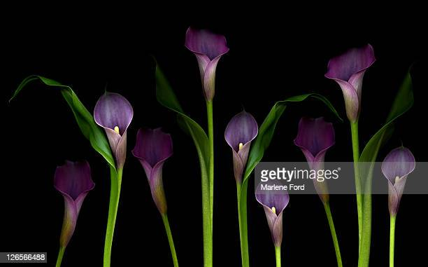 calla lilies - calla lily stock pictures, royalty-free photos & images