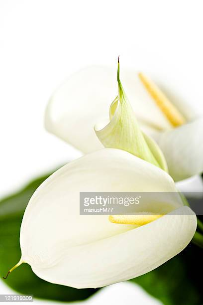 calla lilies - series - calla lily stock pictures, royalty-free photos & images