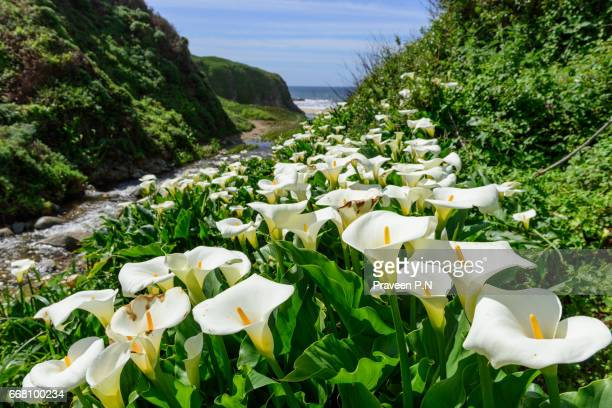 calla lillies in garrapata state park - calla lily stock pictures, royalty-free photos & images