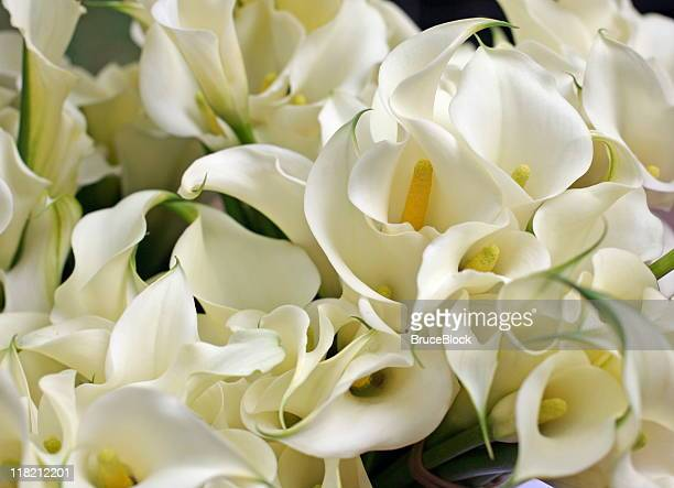 calla lillies - calla lily stock pictures, royalty-free photos & images