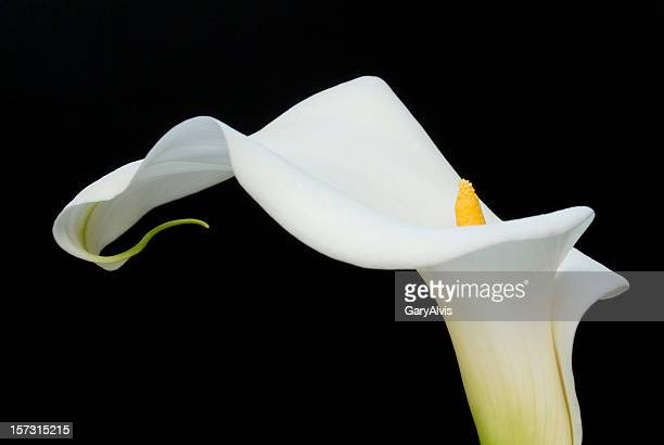 calla lilly - calla lily stock pictures, royalty-free photos & images