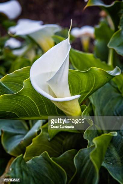 calla lilly - calla lilies white stock pictures, royalty-free photos & images