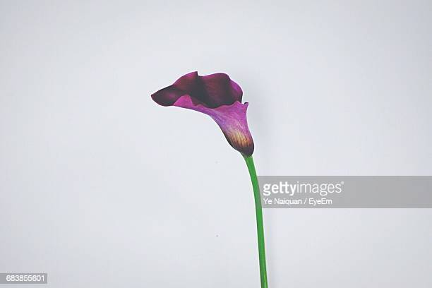 calla lily flower against white background - calla lily stock pictures, royalty-free photos & images
