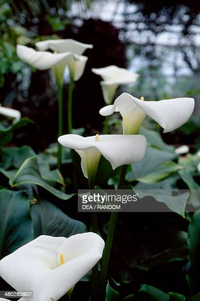 Calla lily or Arum lily Araceae
