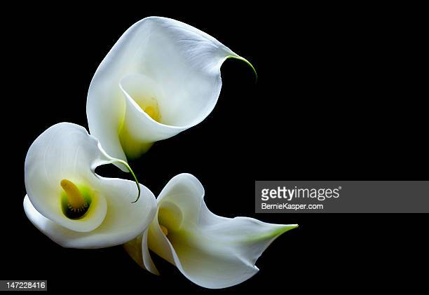 calla lily - calla lily stock pictures, royalty-free photos & images
