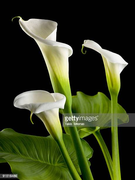 calla lily. - calla lily stock pictures, royalty-free photos & images