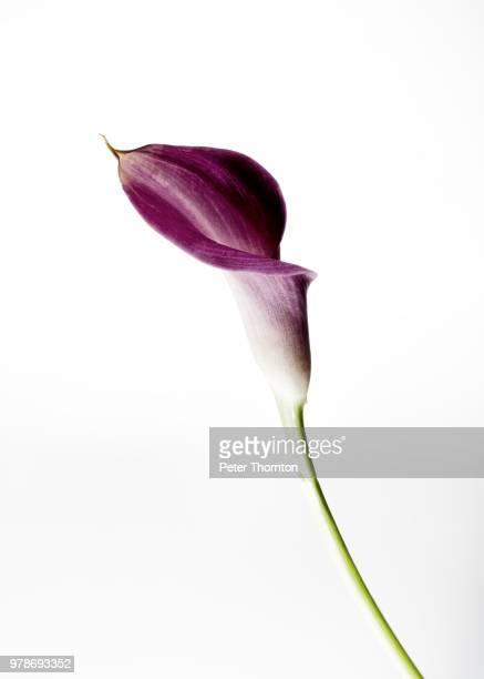 calla lily - 一つ ストックフォトと画像
