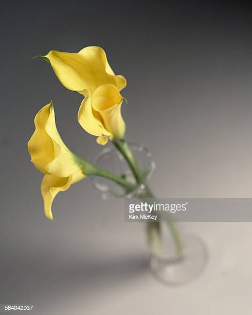 Calla's are monocots and belong to the family Araceae and the genus Zantedeschia having been named after the 19th century botanist Francesco...
