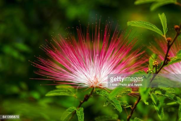 calliandra selloi - mimose foto e immagini stock