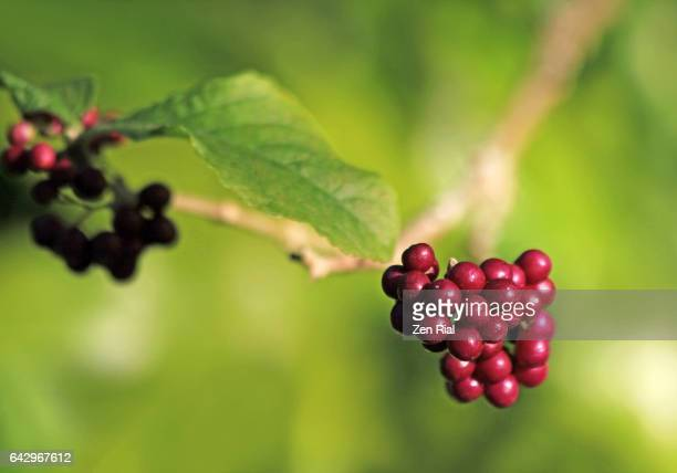 Callicarpa - Beautyberry - American Beautyberry - Lamiaceae