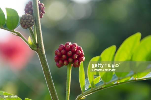 callindra haematocephala/ powder puff flower - mimose foto e immagini stock