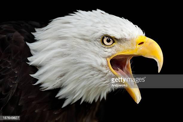 Águila calva llamando al (Haliaeetus leucocephalus