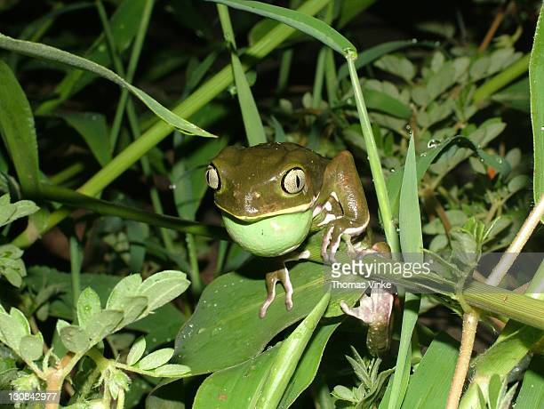 calling waxy monkey tree frog (phyllomedusa sauvagei) with vocal sac, gran chaco, paraguay - ugly monkey stock photos and pictures