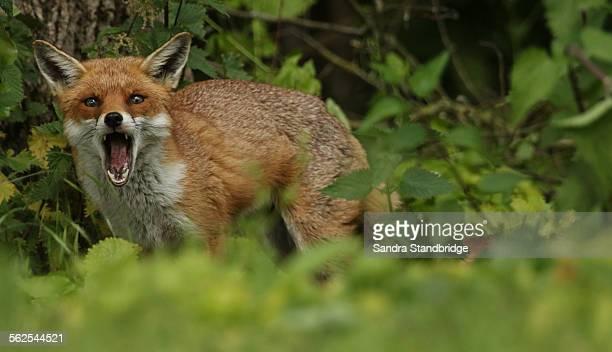 A calling Wild Fox.