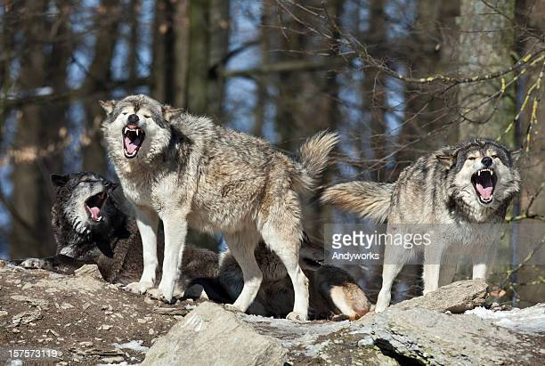 calling wolves - fang stock pictures, royalty-free photos & images