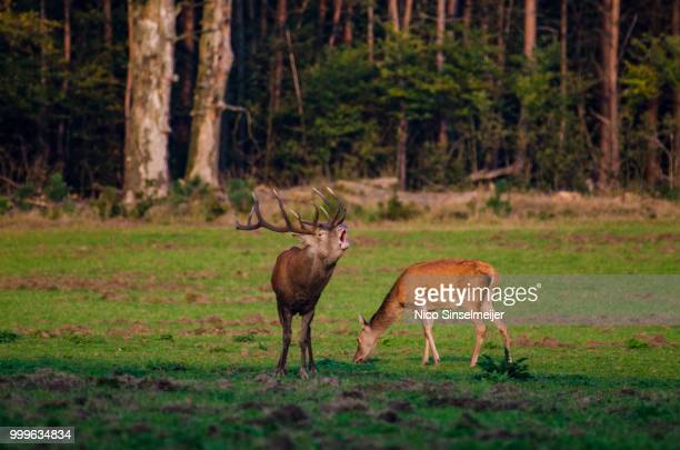 calling you - springbok deer stock photos and pictures