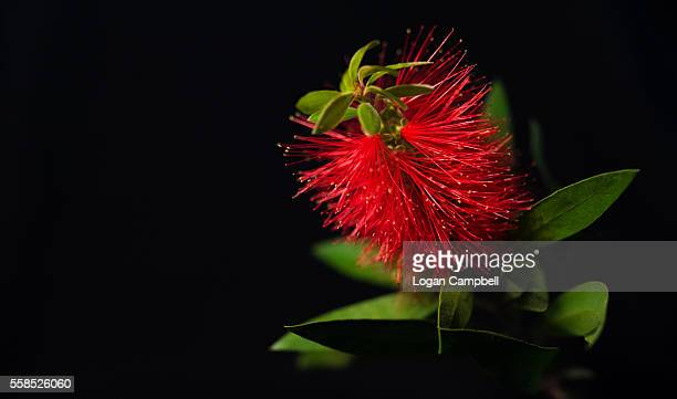 Callistemon Bottlebrush